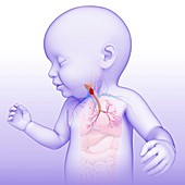 Baby's trachea and bronchi, illustration