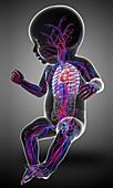 Baby's circulatory system, illustration