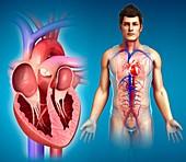 Male heart chambers, illustration