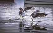 Gulls fishing at water surface