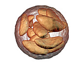 Toxoplasma gondii parasites inside cyst, illustration