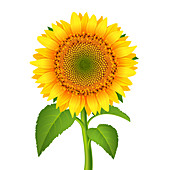 Sunflower, illustration