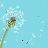 Dandelion seedhead, illustration