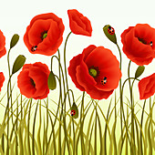 Red poppies, illustration