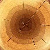 Cut tree stump, illustration