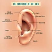 Human ear, illustration