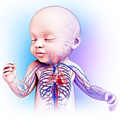 Baby's heart and circulatory system, illustration
