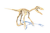 Utahraptor dinosaur skeleton, illustration