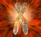 Chromosome, illustration