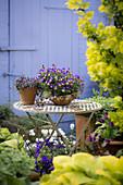 Topf mit Hornveilchen auf dem Gartentisch