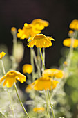 Blüten der Färberkamille