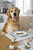 A dog sitting at a table in front of a bone-shaped, homemade biscuit
