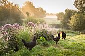 Schwarze Hühner und Hähne in idyllischer Landschaft