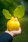 A hand holding a quince with leaves