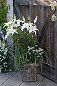 Lilium Hybride 'Mont Blanc' ( Lilie ), Allium schoenoprasum 'Corsican White'