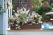 Begonia Summerwings 'White Elegance' ( Begonien ), Fuchsia