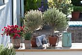 Thymus citriodorus 'Silver Queen' ( Zitronenthymian ) Stämmchen
