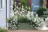 Weiß bepflanzter Holzkasten mit Nemesia Sunsatia Plus 'Anona'