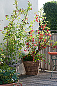 Beerenobst -  Arrangement auf dem Balkon