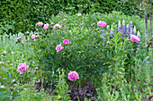 Paeonia lactiflora 'Glory Hallelujah' ( Edel-Pfingstrose ) und Lupinus