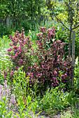 Weigela florida 'Purpurea' ( Rotblättrige Weigelie ) neben Malus ( Apfelbaum )