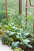 Gemüsebeet im Gewächshaus : Brassica ( Kohlrabi ), Lycopersicon ( Tomaten