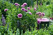 Hocker als Sitzplatz im Beet neben Paeonia lactiflora 'Glory Hallelujah'
