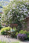 Rosa 'Paul's Himalayan Musk' ( Einmalblühende Ramblerrose )