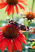 Admiral Schmetterling ( Vanessa atalanta ) auf Blüte von Echinacea