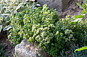 Kräuterbeet mit Einfassung aus Natursteinen : Origanum majorana ( Majoran )