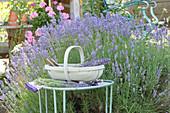 Lavendelernte : Lavandula ( Lavendel ) im Beet,