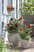 Rosa 'Till Eulenspiegel' ( Beetrose ), Märchenrose, öfterblühend