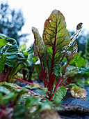 Swiss chard in the field