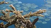 Corals and schooling jackfish