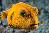 Juvenile star pufferfish