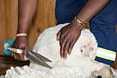 Hand shearing of Merino Sheep