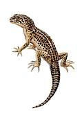 Lizard, illustration