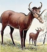 Syndyoceras, illustration