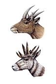 Hoplitomeryx and Hexameryx, illustration