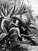 Agave harvest, Mexico, 19th Century illustration
