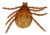 Brown dog tick, light micrograph