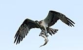 Osprey with its fish prey