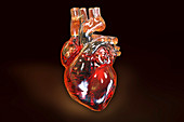 Heart with coronary vessels, illustration