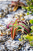 Soutslaai (ice plant) on a beach