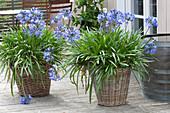 Agapanthus africanus ( Schmucklilien ) in großen Körben