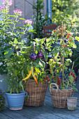Aubergine 'Violetta di Firenze' ( Solanum melongena )