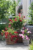 Mandevilla Sundaville 'Red' 'Pink' ( Dipladenien ) in Körben am Wasserfass