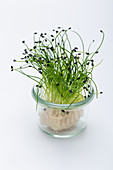 Onion sprouts in a small glass