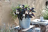 Begonia Hybride Iconia 'Upright White' ( Begonie )