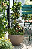 Säulenapfel 'Rhapsodie' mit Chili und Kräutern im Topf